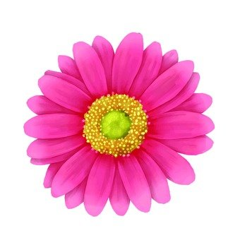 핑크 거베라