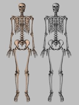 Whole body skeleton
