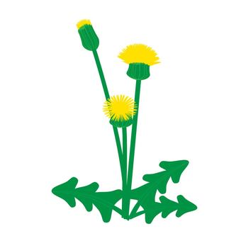 Western dandelion