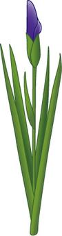 Flower - iris (shoumu) -08
