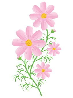 Cosmos flower 2