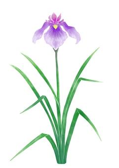 Illustration of iris