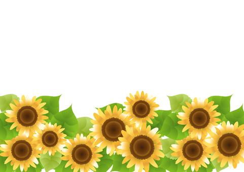 Sunflower 82