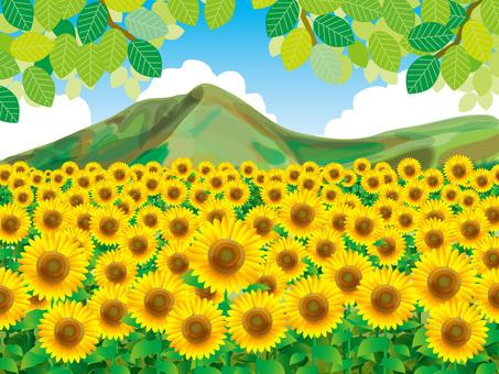 向日葵和山脈(6)一邊的向日葵田