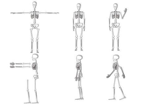 Human skeleton_front side_side