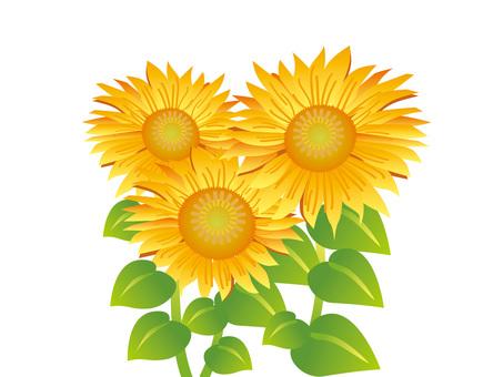 Sunflower New 1