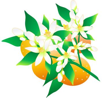 Mandarin orange and oranges