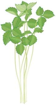 Mitsuba 1 / Vegetable