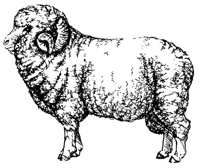 Merino sheep 02