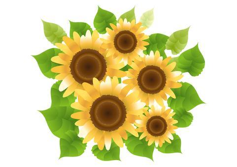Sunflower 31