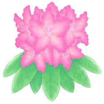 石楠花・濃いピンク