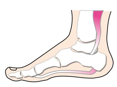 Foot bones and muscles