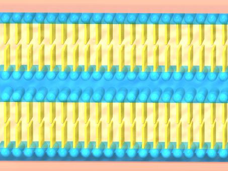 具有層狀結構的細胞間脂質