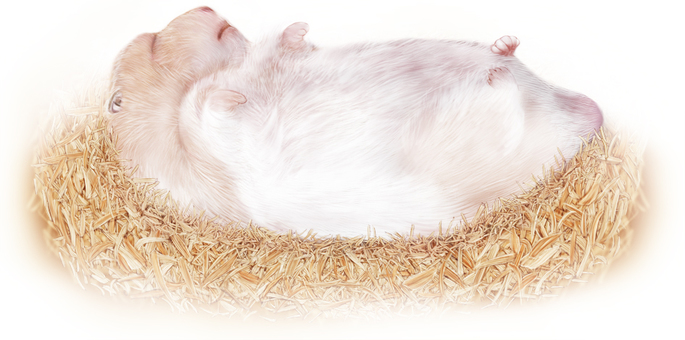 Hamster sleeping on sawdust