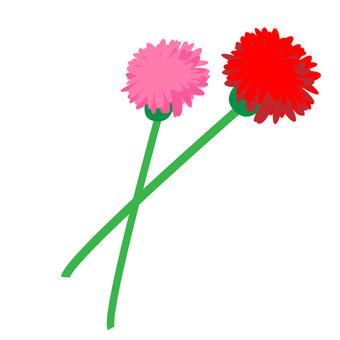 Carnation ①