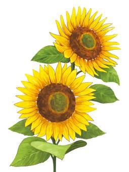 F_ Sunflower