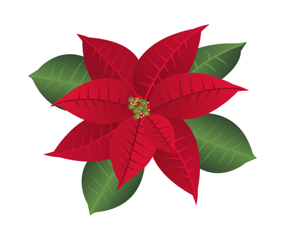 Poinsettia illustration