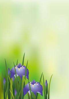 Iris iris 5