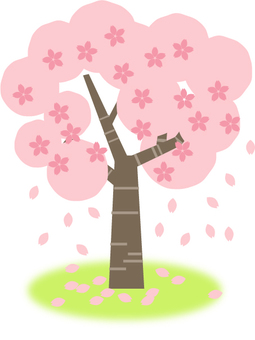 Cherry tree begins to scatter