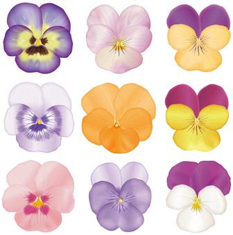 Petals / Pansy & Viola 9 species