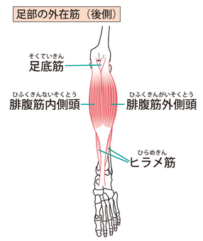 External muscle of the foot (rear side)