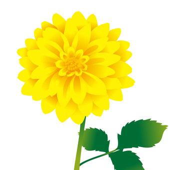 黃色大麗花