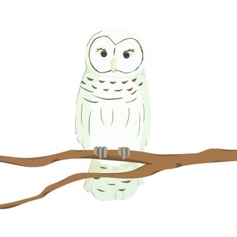 Whitish owl