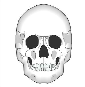 Skull - frontal