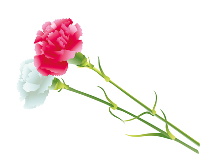 Carnation (red and white)
