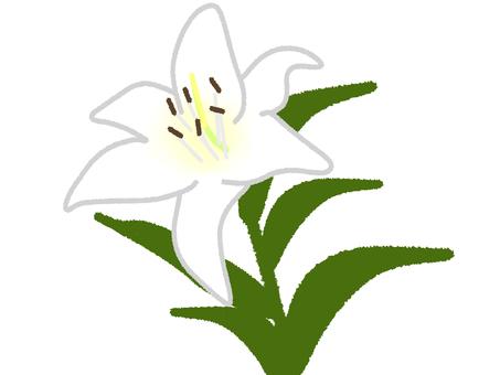 Lily 1 round