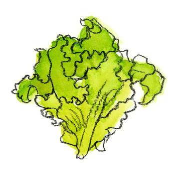 Leaf lettuce _ watercolor