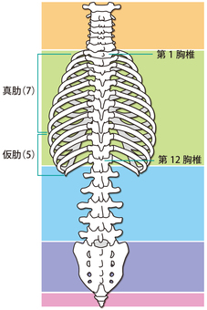 Rib and spine (back)