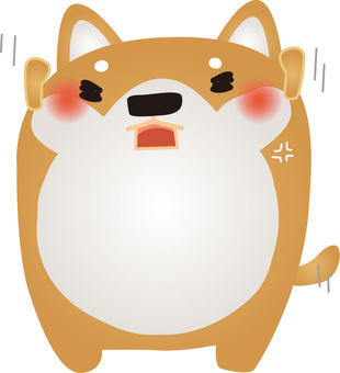 Shiba Inu gets angry