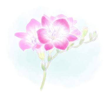 Freesia flower (pink)