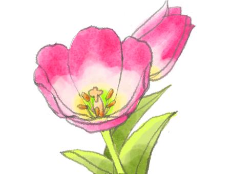 Tulip 6