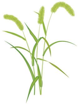 강아지풀 / 잡초