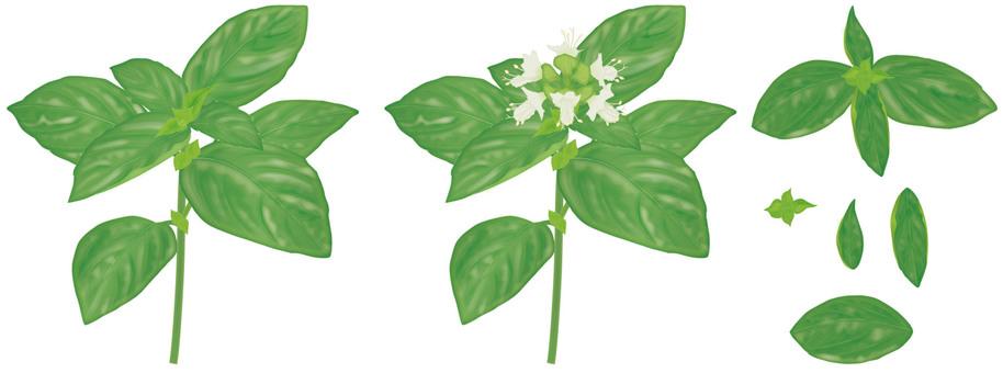 Basil (dark color) / herb