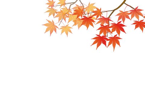 Maple _ 02