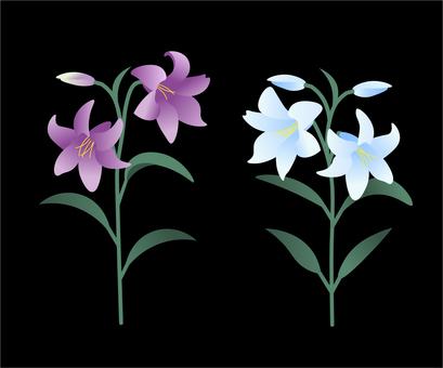 백합 꽃 [PNG 배경 투명]