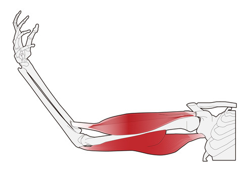 Arm muscle - stretch