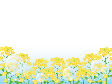 Rape blossom background 2