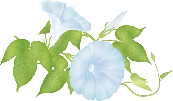 Morning glory / light blue