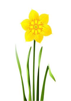 Flower (daffodil)