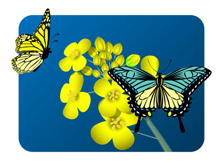 Spring (rape flower and butterfly)