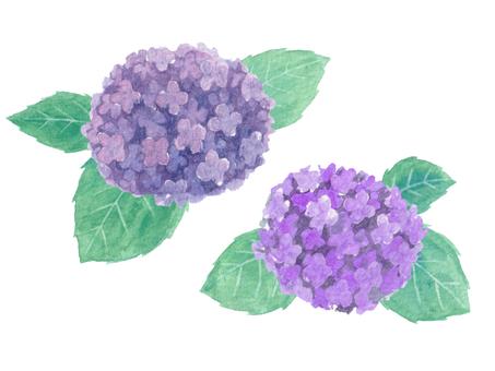 Hydrangea (Watercolor illustration)