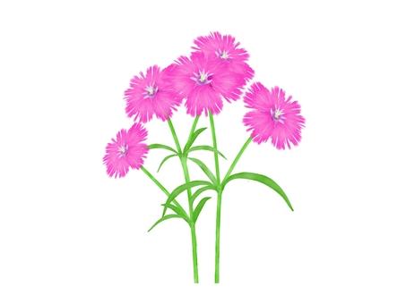 패랭이꽃의 꽃 일러스트