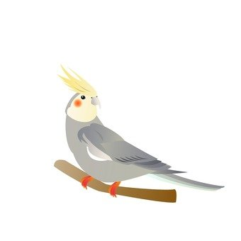 Cockatiel and gray (branches)