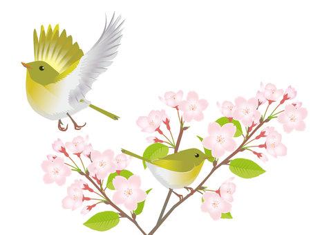 벚꽃과 꾀꼬리 5