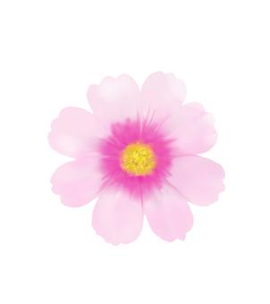 波斯菊點燃粉紅色