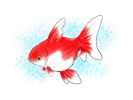 赤い金魚(背景あり)